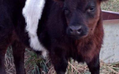 Belted Mini Heifer