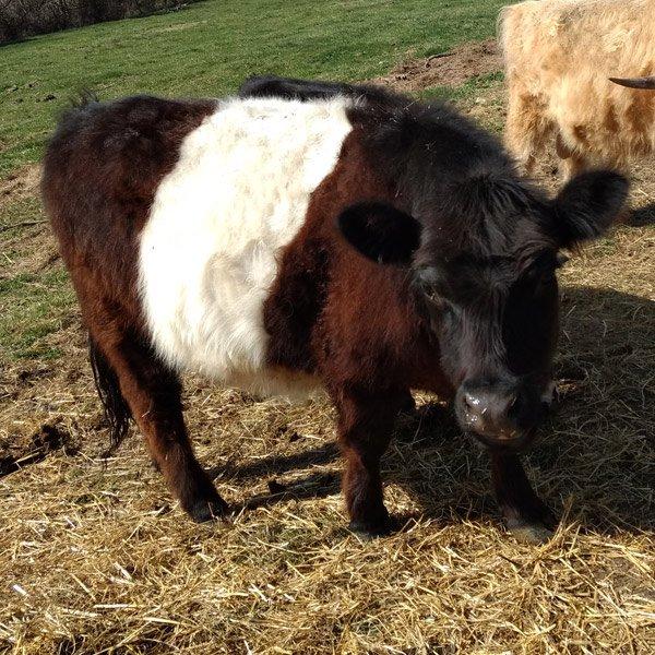 Panda Miniature Cattle cow-Elsa