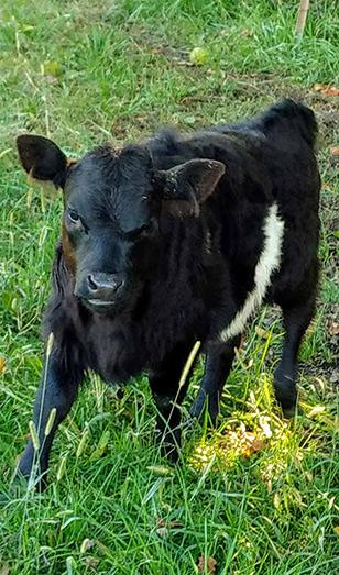 Panda Miniature Cattle-Calve-Rex